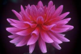 dahlia-pink-flower-image