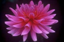 dahlia-pink-flower-image