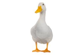 duck.0