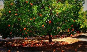 big-fruit-tree-with-ornage-fruit